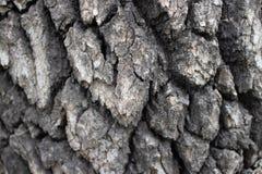 Écorce fortement texturisée sur l'arbre mûr photo stock