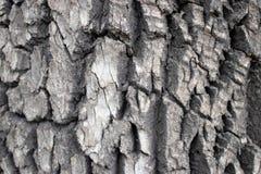 Écorce fortement texturisée sur l'arbre mûr photos stock