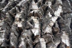 Écorce fortement texturisée sur l'arbre mûr photographie stock