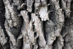 Écorce fortement texturisée sur l'arbre mûr images stock