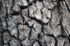 Écorce fortement texturisée sur l'arbre mûr photographie stock libre de droits