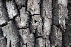 Écorce fortement texturisée sur l'arbre mûr image stock