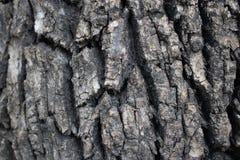 Écorce fortement texturisée sur l'arbre mûr images libres de droits