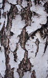 Écorce noire et blanche d'un bouleau Photo stock