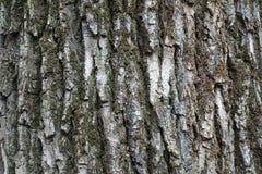 Écorce rugueuse et profondément fissurée d'arbre image stock