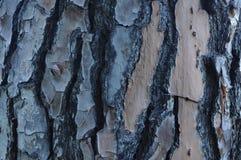 Écorce s'écaillante sur l'arbre de pin Photographie stock libre de droits