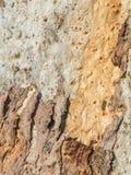 écorce texturisée d'eucalyptus Image libre de droits