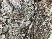 écorce texturisée d'un arbre de Dawn Redwood Image libre de droits
