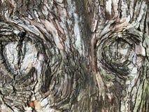 écorce texturisée d'un arbre de Dawn Redwood Photos libres de droits