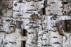 Écorce texturisée par fond d'un arbre de bouleau Photo stock