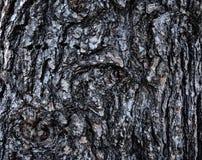 Écorce texturisée rugueuse du strobus blanc de pinus de pin Photographie stock