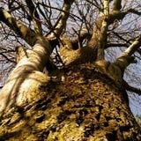 Écorcement vers le haut de l'arbre faux Image libre de droits