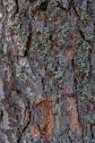 Écorcez la texture du pin avec un grand, couverte de la mousse Photographie stock