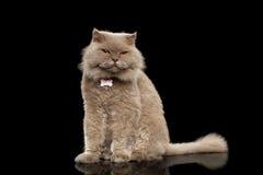 Écossais Cat Curiosity Looking de plan rapproché sur le noir photos stock