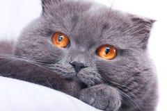 écossais de pli de chat Image libre de droits