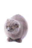 écossais de pli de chat Photos libres de droits