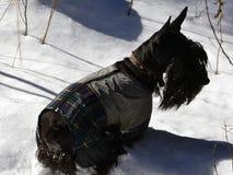 Écossais Terrier pour une promenade dans la forêt d'hiver Photos stock