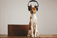 Écouteurs de port de chien mignon de basenji Photo libre de droits