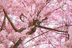 Écran de fleur de cerise Images libres de droits
