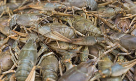 Écrevisses cancer Crabes cuits pour la nourriture photos stock