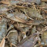 Écrevisses cancer Crabes cuits pour la nourriture Image libre de droits