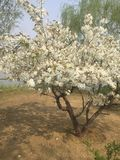 Écrivez la fleur de prune photo libre de droits