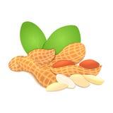 Écrou d'arachide d'illustration de vecteur Une poignée d'arachides écossées nuts dans la coquille et, feuilles illustration de vecteur