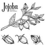 Écrou de jojoba, graine, fruit, branche, feuille, fruit Nourriture saine de nutrition organique d'huile Rétro illustr gravé de ve photos libres de droits