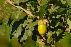 Écrou vert de chêne accrochant sur un arbre photo libre de droits