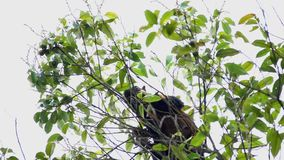 Écrous bicolores géants de consommation de Ratufa d'écureuil noir sur l'arbre clips vidéos
