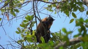 Écrous bicolores géants de consommation de Ratufa d'écureuil noir sur l'arbre banque de vidéos