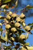 Écrous de gomme d'eucalyptus photo stock