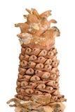 Écrous de pin de cèdre Image stock