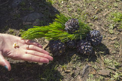 Écrous et cônes du pin sibérien de cèdre Photo stock