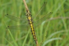 Écumoire de Dragonfly Image libre de droits