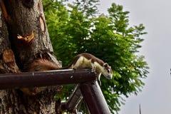 Écureuil à Bangkok Thaïlande photographie stock