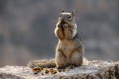 Écureuil à la gorge grande Photo libre de droits