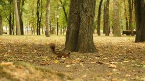 Écureuil à la recherche de nourriture en parc banque de vidéos