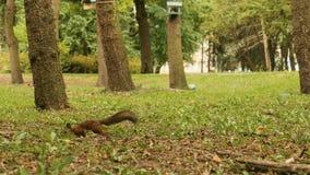 Écureuil à la recherche des écrous en parc clips vidéos