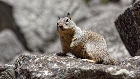 Écureuil à la vallée de Yosemite images libres de droits