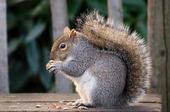 Écureuil à Londres Images libres de droits