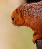 Écureuil à pieds rouges africain Photos stock