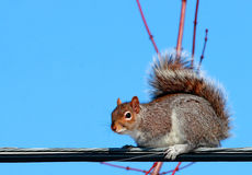 Écureuil électrique Image libre de droits