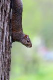 écureuil été perché Photographie stock libre de droits