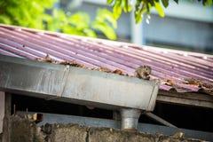Écureuil été perché sur la gouttière photographie stock