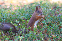 Écureuil étroit en Sibérie Photographie stock