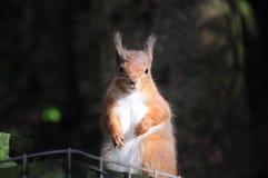 Écureuil image libre de droits