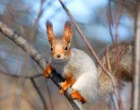 Écureuil. Image libre de droits