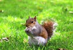 Écureuil photo stock
