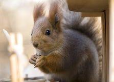 Écureuil 5 Images libres de droits